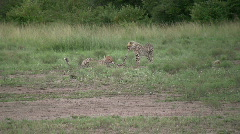Cheetah cubs fighting for left overs Stock Footage