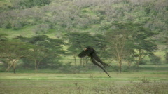 Long tailed widow bird flying Stock Footage