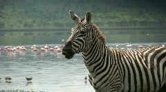Zebra nodding his head with flamingos in the background Stock Footage