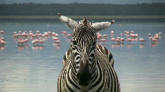 Zoom in of a zebra with flamingos in the background Stock Footage