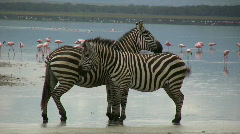 Zoom in in and out of zebras grooming on lakeshore Stock Footage