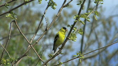 American goldfinch in spring tree Stock Footage