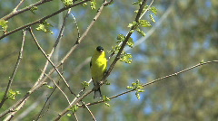 American goldfinch in tree - stock footage