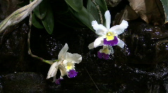 Cattleya orchid with dripping water Stock Footage