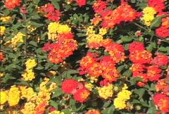 Zooms in on orange lantana flowers Stock Footage