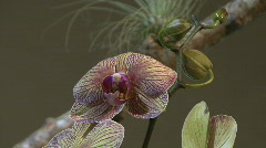 Purple stripped moth orchid Stock Footage