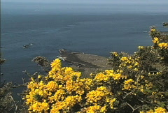 Yellow gorse and sea Stock Footage