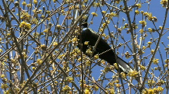 Common Grackle Stock Footage