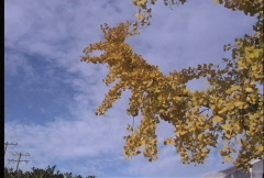 Yellow Ginko leaves - stock footage