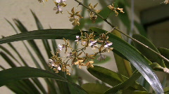 Small brownish orchids Stock Footage