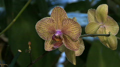 Veined moth orchid Stock Footage