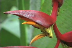 Red tropical heliconia flower Stock Footage