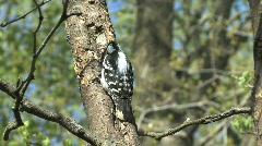Downy woodpecker female  Stock Footage