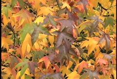 Multicolored sweet gum leaves and tree trumk Stock Footage