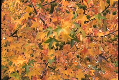 Yellow and green sweet gum leaves Stock Footage