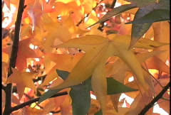 Pans multicolored sweet gums leaves Stock Footage