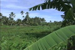 Rarotonga Banana leaves and fields Stock Footage