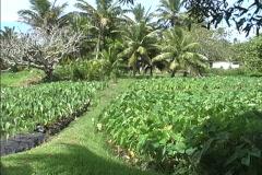 Rarotonga Taro plantation Stock Footage