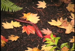 Yellow and red leaves on dark ground Stock Footage