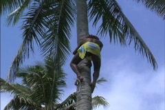 Rarotonga Man climbs down coconut palm Stock Footage
