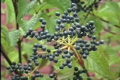 Raindrops on blue-black berries Stock Footage