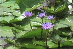 Purple waterlilies and green leaves Stock Footage