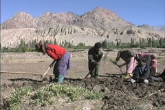 Family digging potatoes Stock Footage