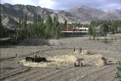 Thrashing grain with animals in Ladakh Stock Footage