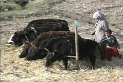 Woman and child with cows and yaks Stock Footage