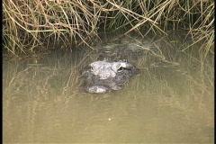 Alligator resting in marsh grass LA Stock Footage