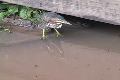 American Bittern crouches in Louisiana Stock Footage