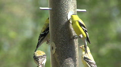 American goldfinch feeding - stock footage