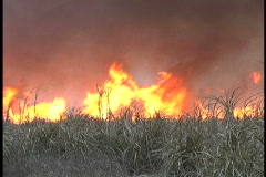 Burning cane field high flames Louisiana - stock footage