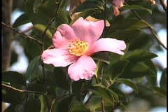 Camellia pink and yellow LA Stock Footage