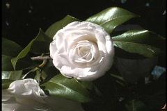 Camellia white in Louisiana Stock Footage