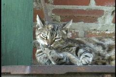 Grey Cat licks paws Stock Footage