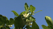Stock Video Footage of Florida Orange blossom detail