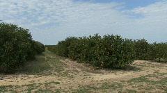 Florida Orange grove  Stock Footage