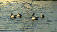 Florida pelicans swimming and flying - stock footage