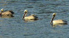 Florida pelicans swimming Stock Footage