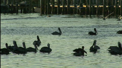 Florida pelicans backlit Stock Footage
