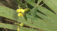 Florida Yellow pea flower Stock Footage