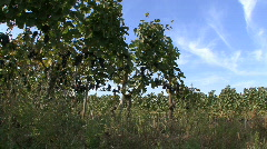 Germany Black Forest grapevines Stock Footage