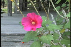Hibiscus and Cajun porch LA Stock Footage