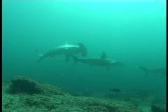 hammerhead shark underwater video Galapagos Pacific ocean - stock footage
