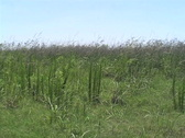 Stock Video Footage of Marsh reeds LA