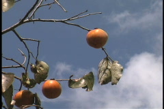 Persimmon on a tree LA Stock Footage