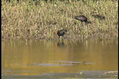 Plaquemines coot and Ibis LA Stock Footage