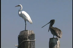 Heron and pelican Louisiana Stock Footage