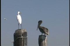 Plaquemines Heron pelican plane LA Stock Footage